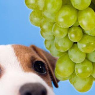 Olfato de Cães Salvando Parreiras